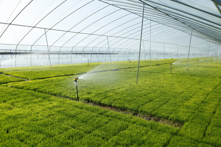 grew: The rice seedling in The greenhouse, grew well