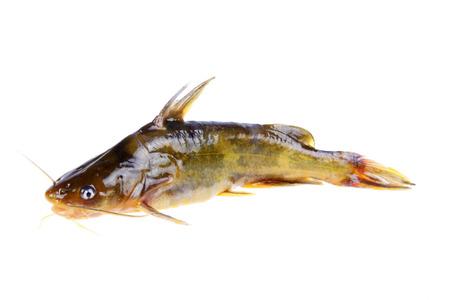 freshwater fish: Pelteobagrus fulvidraco is a kind of freshwater fish, very fierce. Stock Photo