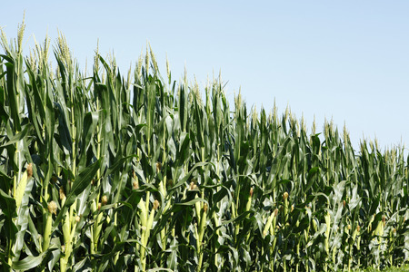 to thrive: The fields of corn, thrive