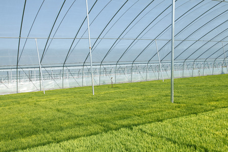 green technology: The rice seedling in greenhouse, growing well Stock Photo