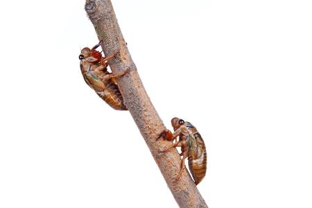 metamorphose: Cicada pupa