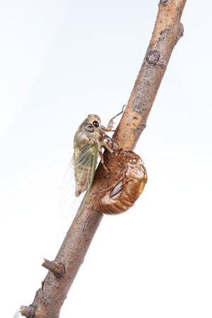metamorphose: The metamorphosis of cicada