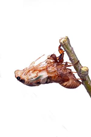 metamorphosis: The metamorphosis of cicada
