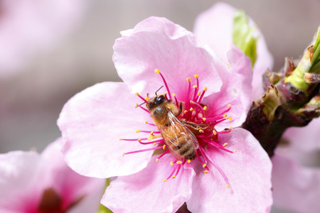 industrious: The bee collect nectar on the peach blossom Stock Photo
