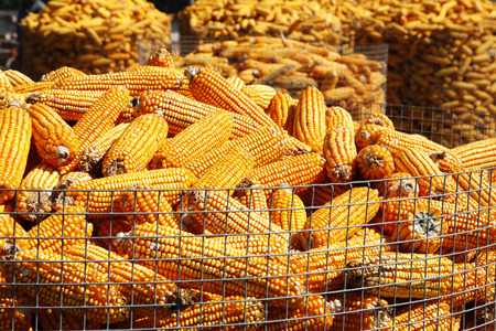 agrarian: The corn crop, stacked together Stock Photo