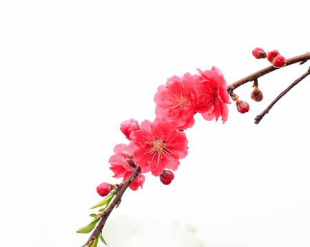 white blossom: The close-up of the peach blossom, white background Stock Photo