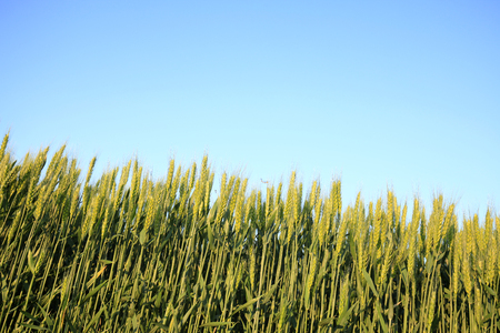 healthy economy: wheat growing