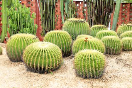 golden ball: golden ball cactus Stock Photo