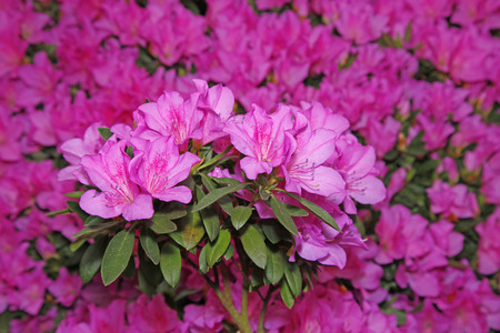 Flowering azaleas Standard-Bild
