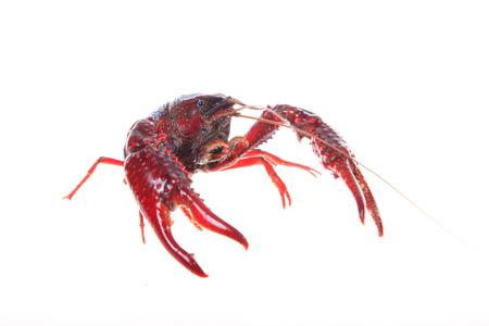 Crawfish, white background Stock Photo