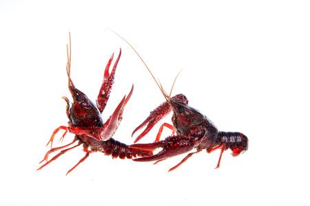 Crawfish, white background, close-up