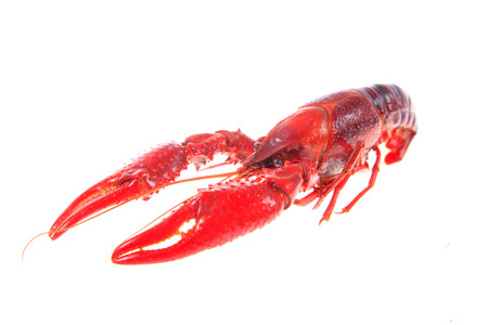 Crawfish on white background Stock Photo - 81476925