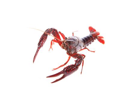Crawfish on white background Stock Photo