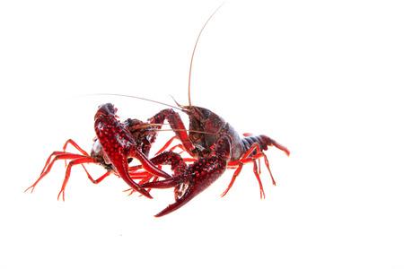 Crawfish on white background Stock Photo - 81477113