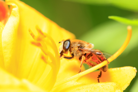 apis: Close up view of a bee on a flower
