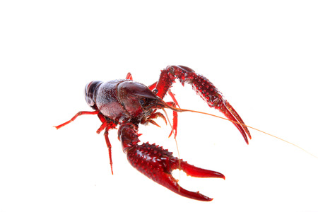Close up view of crawfish on white background Stock Photo - 84863292
