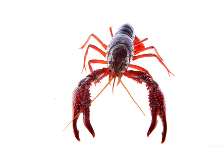 Close up view of crawfish on white background Stock Photo - 84864000