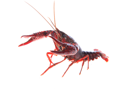 Close up view of crawfish on white background