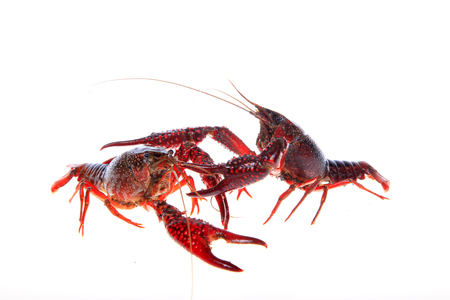 Close up view of crawfish on white background Stock Photo - 84864016
