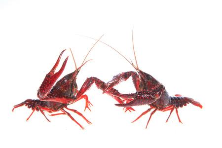 Close up view of crawfish on white background Stock Photo - 84864079