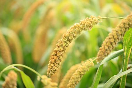foxtail millet Stok Fotoğraf