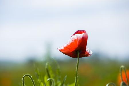 Corn poppy flower close up view Stock Photo