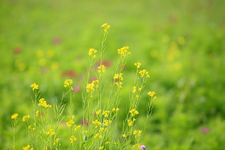 Rape flower close up view in a field Stock Photo