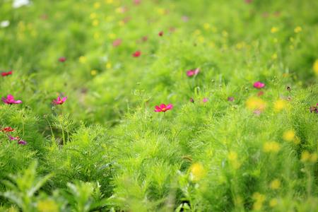 Sims azalea in a field Stock Photo