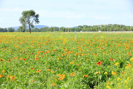 Daisy and gerbera field landscape view