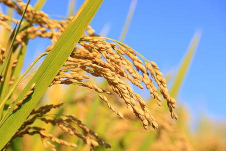 Rice paddies, rice growing