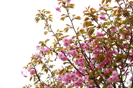 Cherry blossoms are blooming, close-up Stock Photo