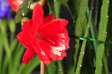 Nopalxochia ackermannii Kunth, Cactus flower