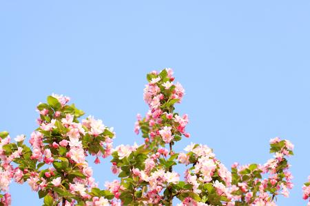 Malus spectabilis in bloom
