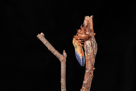 A cicada metamorphoses on a branch, A cicada is molting on a branch,black background, Stock Photo