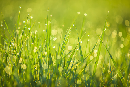 The grass in the morning, covered with dew