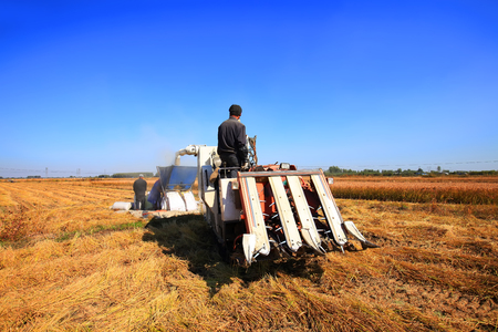 Harvester machine is harvesting ripe rice Standard-Bild