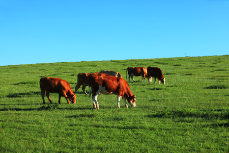A herd of cattle was grazing on the prairie
