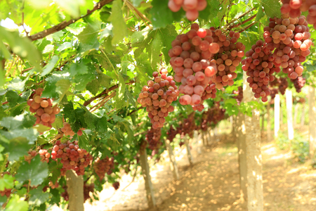 Vineyards at sunset in autumn harvest. Ripe grapes in fall