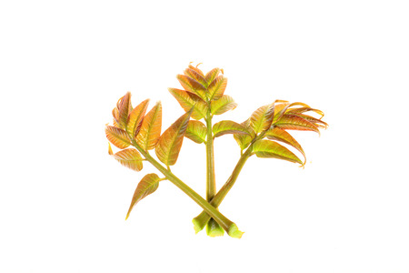 Toona sinensis in white background