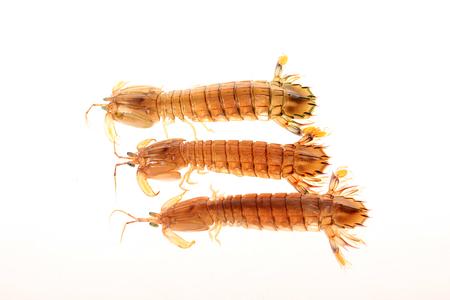 mantis shrimp on a white background