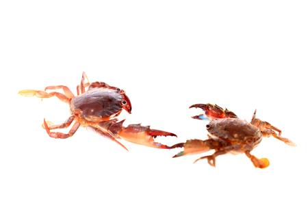 Crabe isolé sur fond blanc