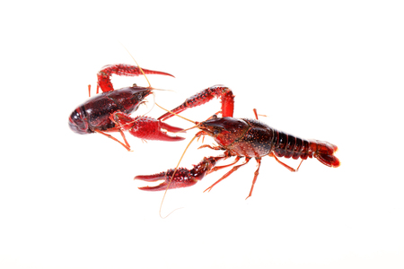 Crawfish isolated on white background