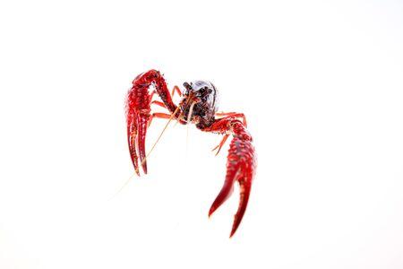 Crawfish isolated on white background