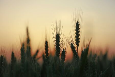 The mature wheat in the field