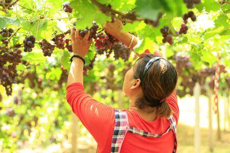 A woman is picking grapes Фото со стока