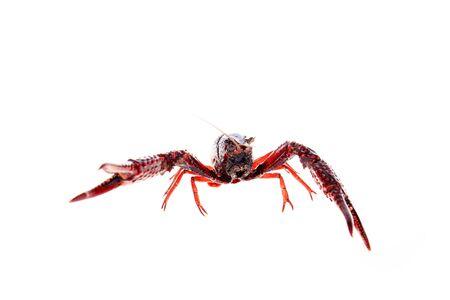 Crayfish,Crawfish isolated on white background