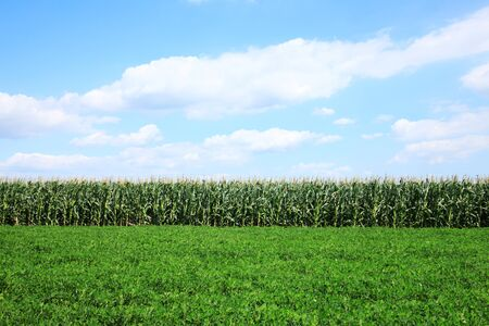 The peanuts and corn growing in the fields Stockfoto