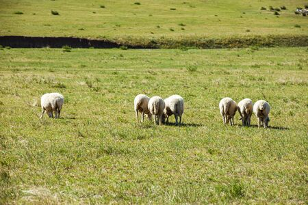 Sheep flock  is on the grassland, under the blue sky and white clouds