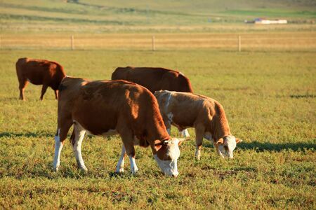 A herd of cattle are eating grass on the grassland