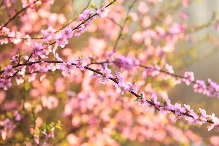 Im Frühling blühen die Pflaumenbäume, Pfirsich blüht in voller Blüte Standard-Bild